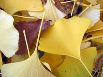 Ginko leaves closeup. Close up of ginko leaves in Autumn Royalty Free Stock Images