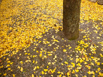 Ginko leaves on the ground. Ginko leaves turn to yellow and fall on the ground in autumn Royalty Free Stock Photos