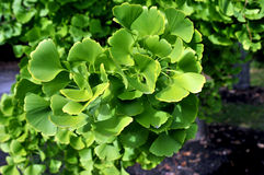 GInko leaves. Image of ginko biloba leaves Stock Images