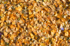 Ginko Leaves Royalty Free Stock Photos