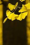 Ginko sidor med det oskarpa trädet i bakgrunden Fotografering för Bildbyråer