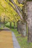 Ginko träd Royaltyfria Foton