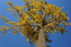 Ginko träd i nedgång Royaltyfri Foto