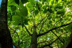 Ginko träd med stora sidor royaltyfri fotografi