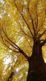Ginko träd, Nami Island Fotografering för Bildbyråer