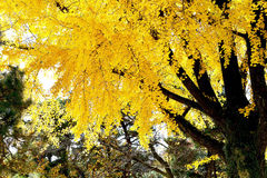 Ginko tree Stock Images