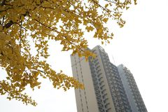 Ginko tree and building in fall stock photos