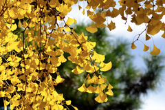 Ginko tree. In the castle, Kyoto Stock Photography