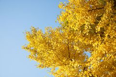 Ginko tree in fall Stock Photography