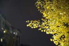 Ginko tree and leaf  at night Stock Photo