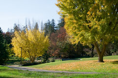 Ginko trees in the fall stock photo