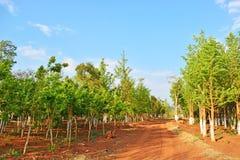 Ginko-Wald stockfoto