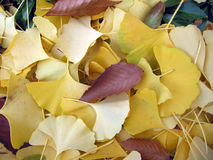 ginkoleaves Royaltyfria Foton