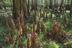 Ginocchia del Cypress calvo, sosta nazionale di Congaree Immagini Stock Libere da Diritti