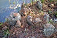 Ginocchia di Cypress Fotografia Stock