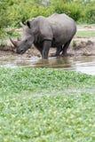 Ginocchio del rinoceronte in profondità nell'acqua ad un foro di innaffiatura nel parco immagine stock libera da diritti