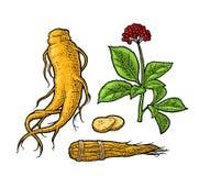 Ginsém de panax da raiz e das folhas Ilustração da gravura do vetor ilustração do vetor