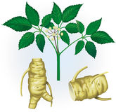 Ginseng Royalty Free Stock Photography