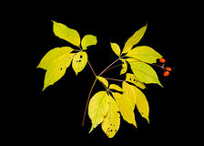 Ginseng 2 Stock Images