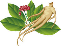 Ginseng Illustration de Vecteur
