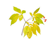 Ginseng 5 Royalty Free Stock Image