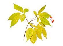 Ginseng 6 Royalty Free Stock Images