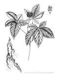 Ginseng americano Imagens de Stock Royalty Free