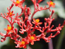 Ginseng-Blumen lizenzfreie stockfotos