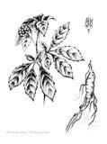 Ginseng chino Imagen de archivo libre de regalías