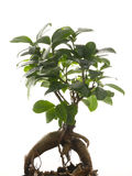 Ginseng ficus Stock Photos