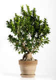 Ginseng Ficus Bonsai Tree on Brown Pot Stock Photo