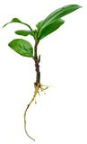 Ginseng ficus fresh sprout before planting Stock Photography