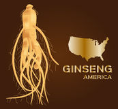 Ginseng  , ginseng of America , ancient traditional medicine Stock Photography