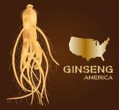 Ginseng, ginseng de América, medicina tradicional antigua Fotografía de archivo