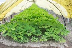 Ginseng greenhouses stock photo
