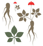 Ginseng Stock Images