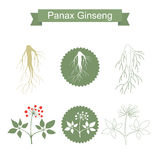 Ginseng. Isolated plant on white background Stock Photos