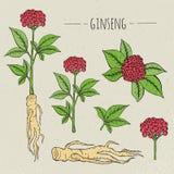Ginseng medical botanical  illustration. plant, root, leaves hand drawn set. Vintage sketch. Royalty Free Stock Photos
