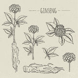 Ginseng medical botanical isolated illustration. Plant, root, leaves hand drawn set. Vintage sketch. Royalty Free Stock Photography