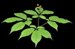 Ginseng (panax ginseng) 14 Fotografia Stock