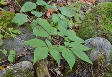 Ginseng (Panax ginseng) 3 Stock Photos