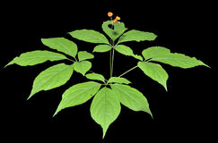 Ginseng (Panax ginseng) 14 Stock Photo