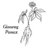 Ginseng panax sketch. Root and leaves panax ginseng. Vector black and white engraving vintage illustration of medicinal plants. Biological additives are. Healthy Stock Photo