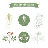 ginseng Planta aislada en el fondo blanco Fotos de archivo