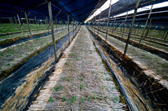 Ginseng plantation Stock Images