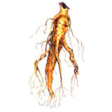 Ginseng root isolated on white Royalty Free Stock Photography