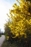 ginster giallo a primavera tedesca immagine stock