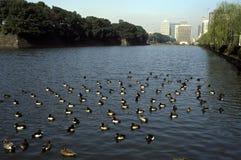 Ginza Ducks Stock Image