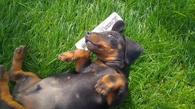 Giocando con il cucciolo nero e marrone del bassotto tedesco su un prato inglese verde stock footage