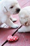 Giocando i cuccioli su erba verde - vecchio tre settimane di labrador. Immagini Stock